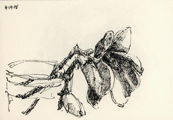 magnolia_sk_041908_1wb