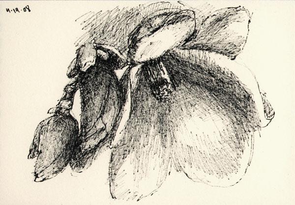 magnolia_sk_041908_2wb